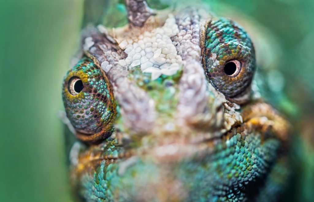 close-up of chameleon face